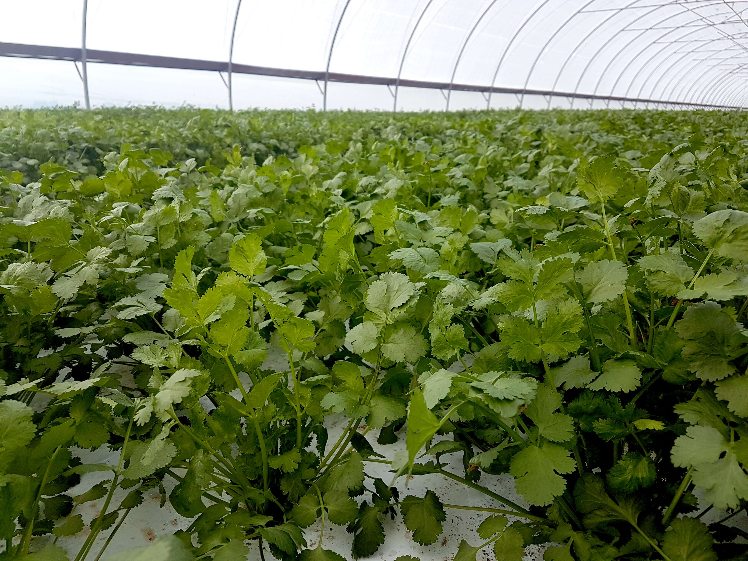organic cilantro in production