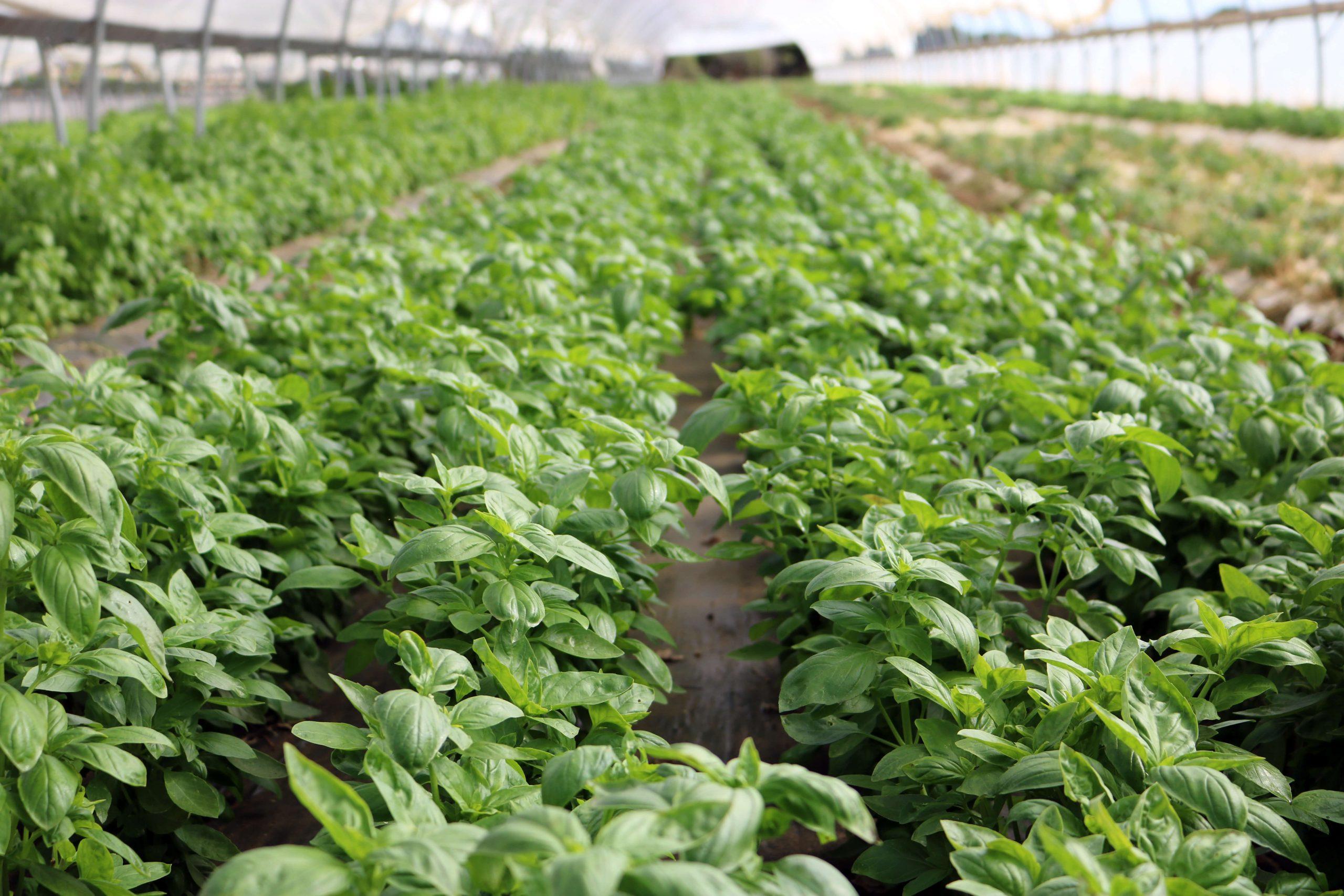organic basil production