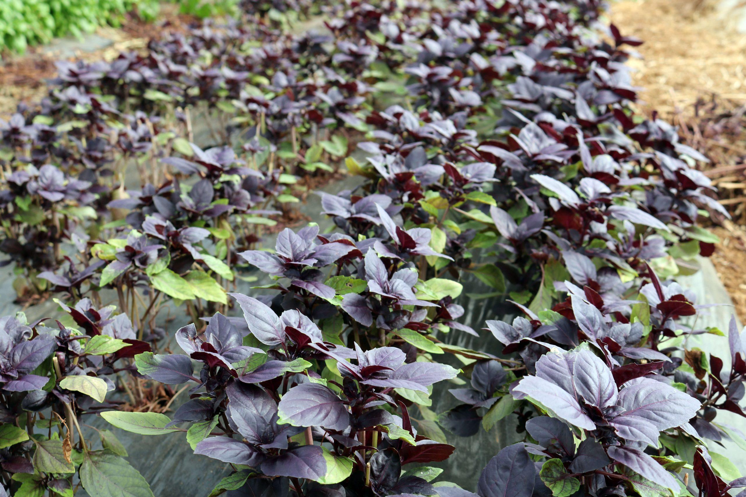 organic black basil