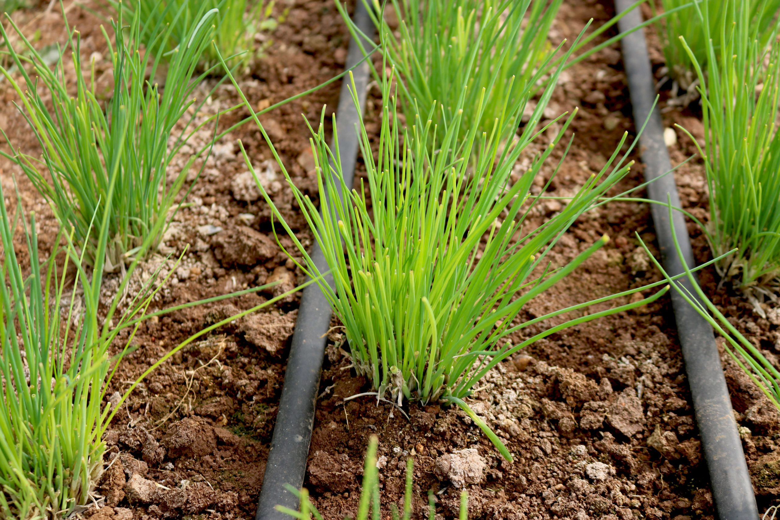 planted organic chives