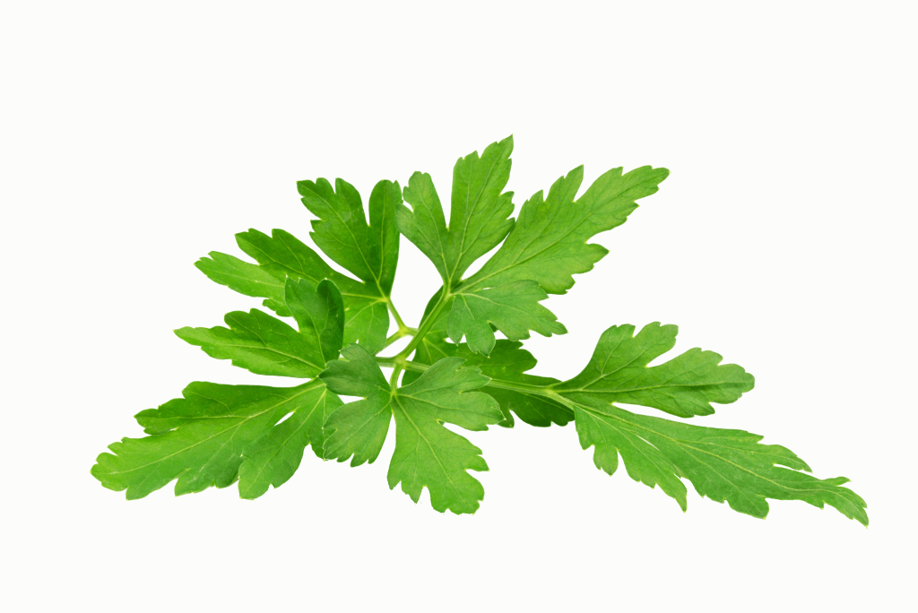 Green parsley leaf